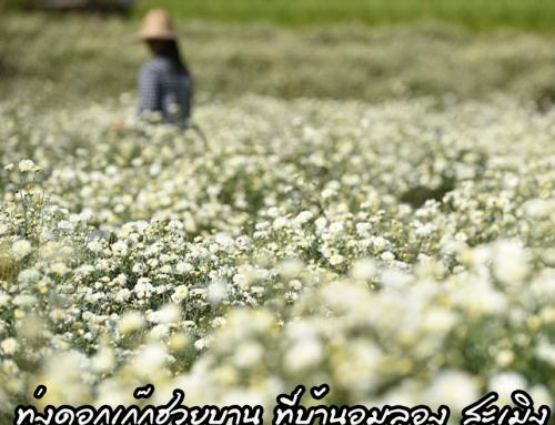 ทุ่งดอกเก๊กฮวยบาน ที่บ้านอมลอง สะเมิง