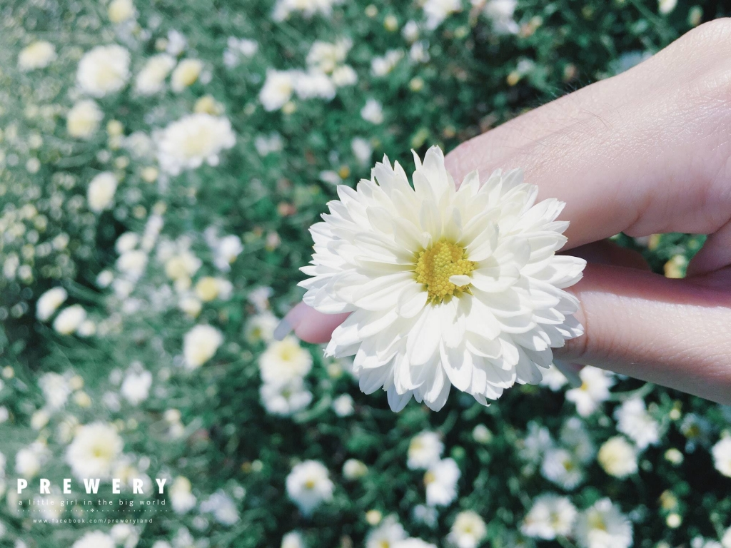 chrysanthemum-13